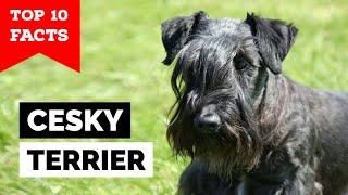 Cesky Terrier Top 10 Facts