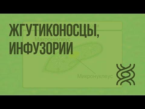 Жгутиконосцы, инфузории. Видеоурок по биологии 7 класс