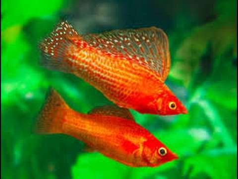 fish Male and female molly