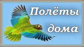 ПОЛЕТЫ-ТРЕНИРОВКИ ПОПУГАЯ ДОМА. Зачем домашнему попугаю летать.