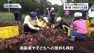 種子島・小学生がイモ収穫