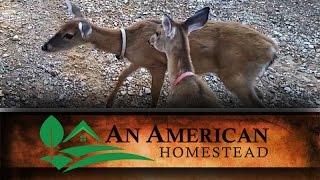 Local Deer Population - An American Homestead