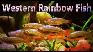 Western Rainbow Fish Care & Tank Set up Guide