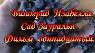 Виноград изабелла.Grapes Isabella.Сад Зауралья. фильм 11.
