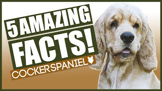 COCKER SPANIEL FACTS! 5 Incredible Facts about The Amazing Cocker Spaniel!