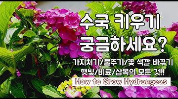 수국 키우기 모든 것 !! 꼭 알아둘 7가지는?[삽목하기/가지치기/물주기/꽃색깔 바꾸기]How to Grow Hydrangeas
