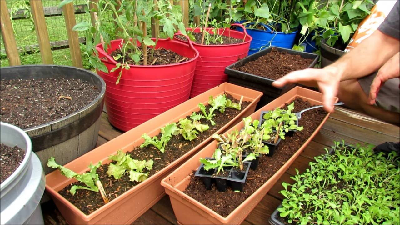 Planting lettuces greens in containers seed starts are a - Best soil for container gardening ...