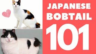 Japanese Bobtail Cat 101 : Breed & Personality