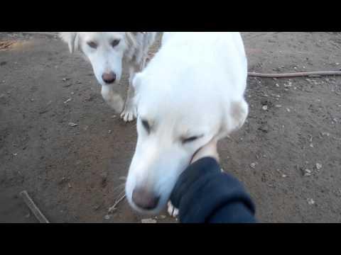 Akbash livestock guardian dogs