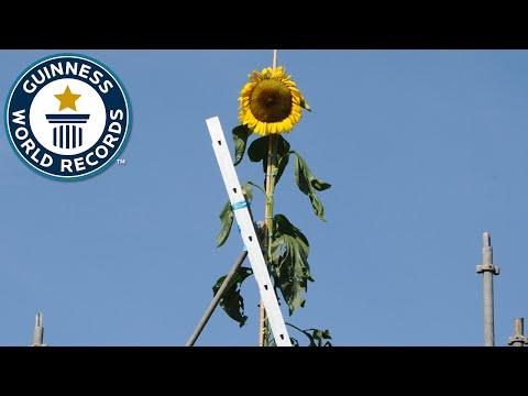 Tallest Sunflower - Guinness World Records