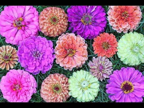 Seven Gorgeous Zinnia Varieties To Grow In Your Garden