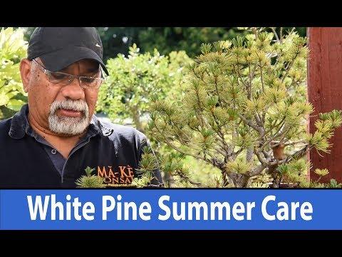 183) Japanese White Pine Bonsai Summer Care