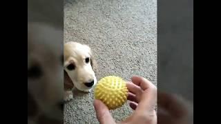 Игривая спаниелька Соня
