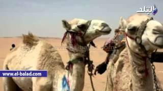 بالفيديو والصور.. محافظ أسوان يعطي إشارة انطلاق مهرجان أسوان العربي الثاني للهجن