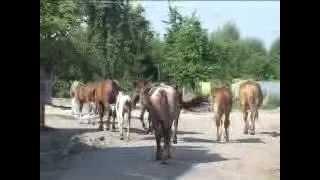 В Гусеве появились лошади -- дикие мустанги