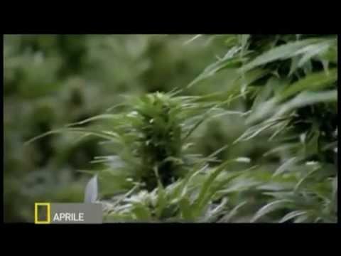 National geographic вся правда о марихуана сушат листья конопли