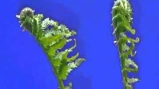 Ускоренная съемка роста папоротника