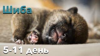 Щенок Шиба Ину (5-11 день)