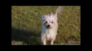 Rihanna - Maltese Rescue Available For Adoption Through Romp Italian Greyhound Rescue