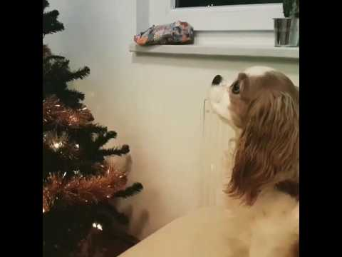Spoiled king charles cavalier wants to open her christmas present early