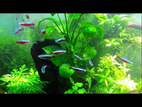 Planted tank Schooling Fish HD video
