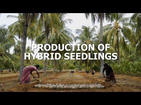 Production of Deejay Sampoorna® - Hybrid Coconut Seedling