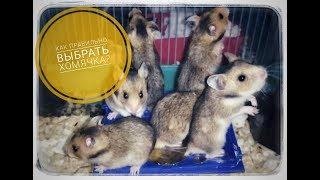 как правильно выбрать хомячка?//Основные аспекты выбора при покупке//how to buy a hamster?