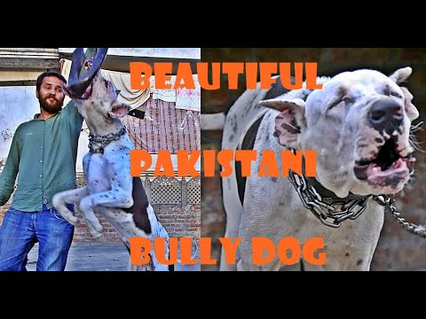 liono-bully-dog-of-imran-rafi---attractive-bully-kutta