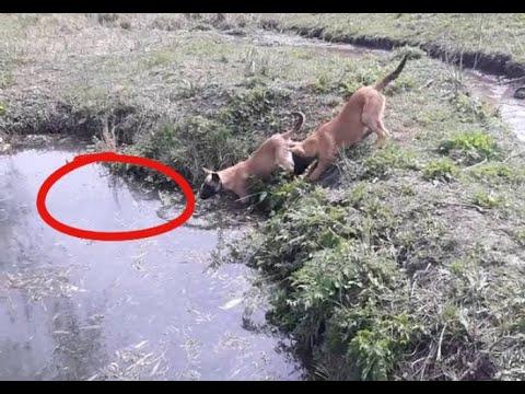 Собака малинуа сделала смертельный трюк это жесть, первая прогулка со щенком бельгийской овчарки.