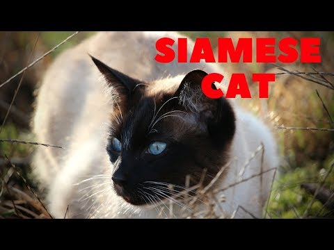Siamese cat : His name is Drake