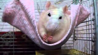 Декоративные домашние крысы.  Яшка точит шкварочку