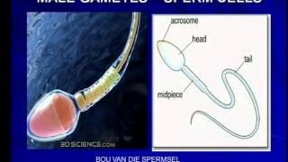 HR male reproductive system structure sperm cell
