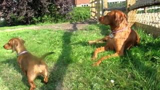 Mini Dachshund And Vizsla - Funny Barking