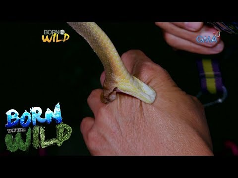 Born to Be Wild: Doc Nielsen gets bitten by a Philippine blunt-headed cat snake