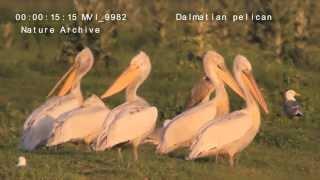 The Best Dalmatian Pelican שקנאי מסולסל