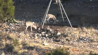 Pope Ranch 2010 - Dead Aoudad