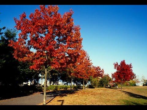Pope Park Tree Walk - Northern Red Oak