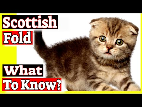 Why are Scottish Fold cats banned? Do Scottish Fold cats have health problems?