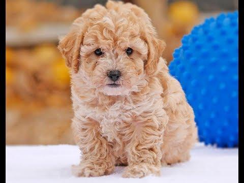 Moodle Puppies Australia