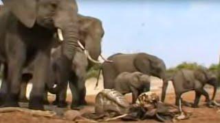 Elephants grieving - BBC wildlife