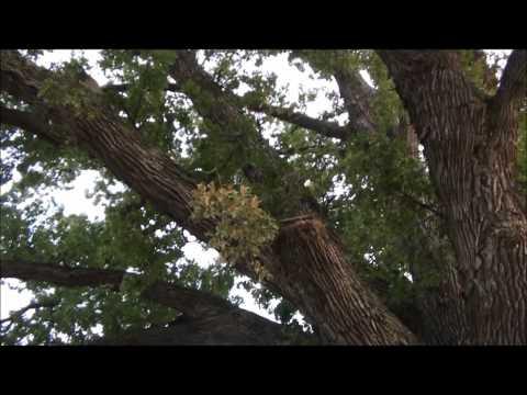 Largest Tree in Missouri