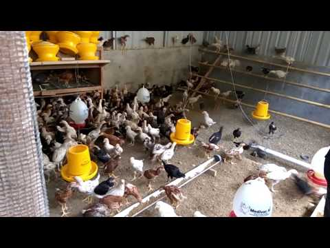 Wajib Ditiru !! Model & Management Kandang Ayam Kampung Super Agar Bebas Dari Predator