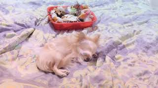 Моя маленькая собачка чихуахуа