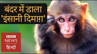 Chinese scientists implanted human brain genes into monkeys, this is what happened (BBC Hindi)