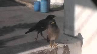 野鳥 Common Myna นกเอี้ยงสาริกา
