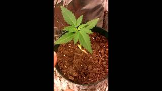 Yellow marijuana plant problems