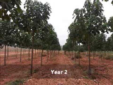 The Life Of A Paulownia Tree Www Ipaulownia Com Youtube