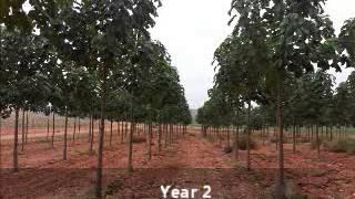The Life of a Paulownia Tree, www.ipaulownia.com