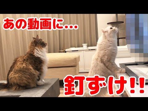 色んなYouTuberの猫動画を見せて一番食いつきが凄いのは◯◯だった!