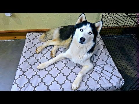 How to Stop Your Husky from Destroying His Bed?